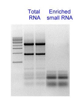 http://www.inovogen.com/circRNA/miRNA2.jpg