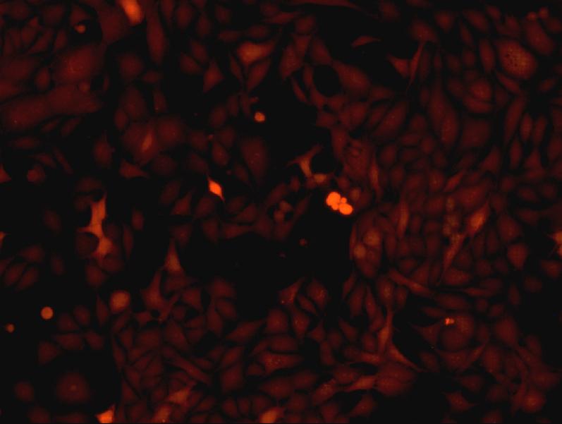 BHK21 EGFP稳转细胞株