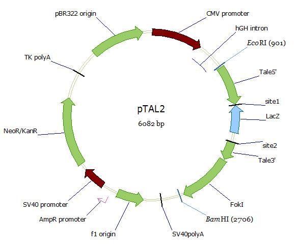 pTAL2