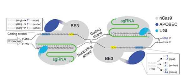 CRISPR iStop基因敲除