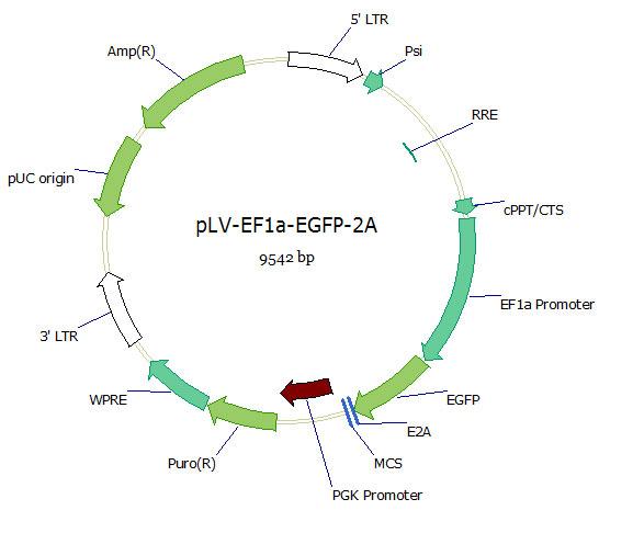 pLV-EF1a-EGFP-2A双标慢病毒载体