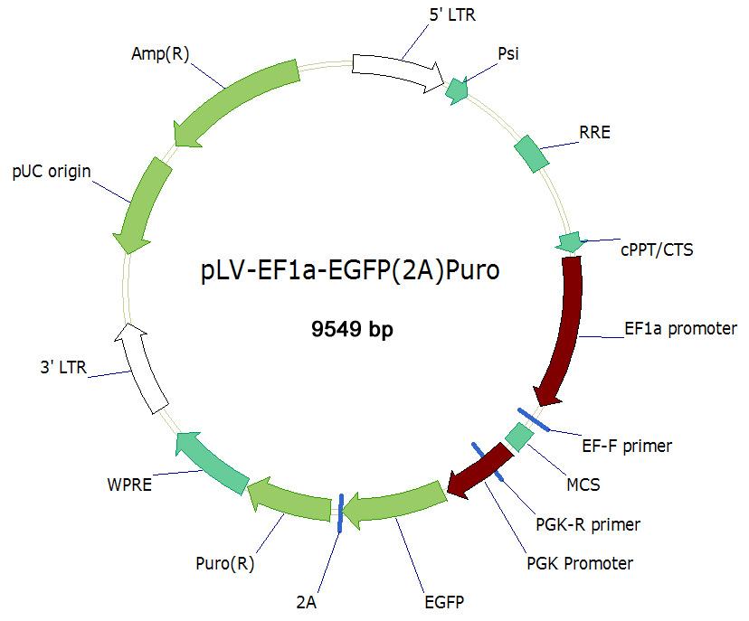 pLV-EF1a-EGFP(2A)Puro双标慢病毒载体