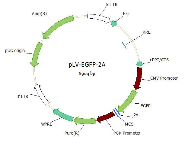 pLV-EGFP-2A双标慢病毒载体