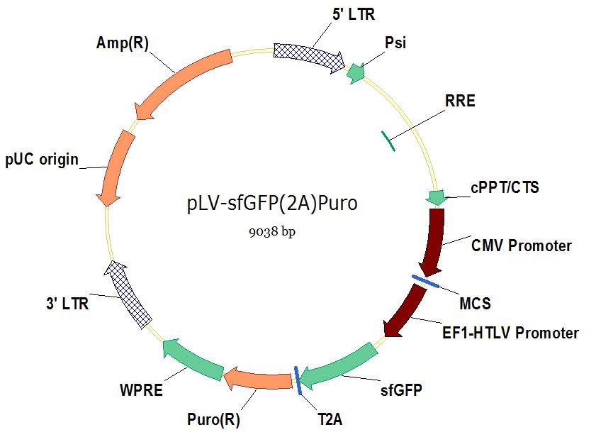 pLV-sfGFP(2A)Puro慢病毒基因过表达载体