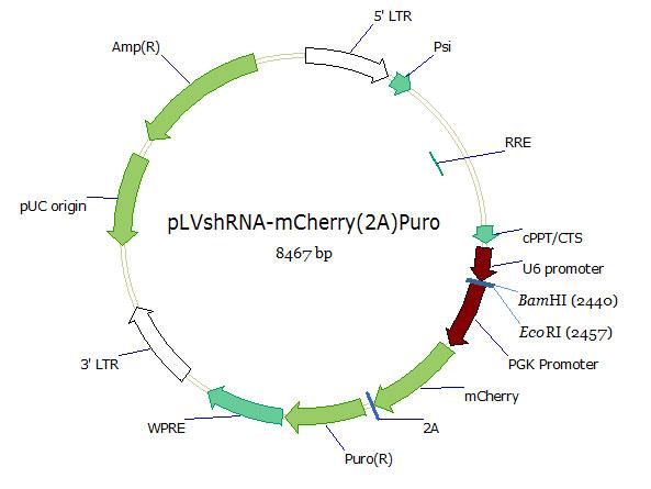 pLVshRNA-mCherry(2A)Puro双标慢病毒载体